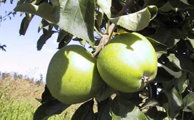 Manzana en árbol