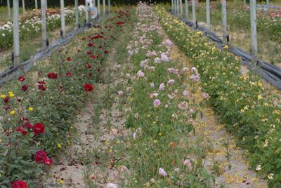 Plantas madres de rosales