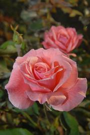 Queen Elizabeth rosa