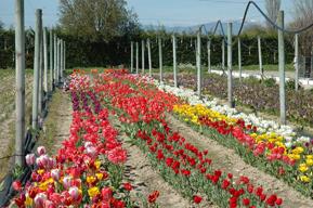 Tulipanes en plena floración