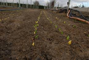 Tulipanes saliendo en enero
